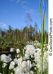 Cottongrass - Cotton grass in wetlands Sunny day