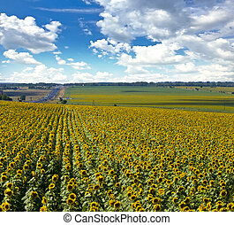Field of sunflowers. Summer landscape against the blue cloudy sky.