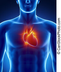 Human heart in detail with glowing rays - Male anatomy of...