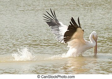 Pelecanus pelecanedae is a big water bird