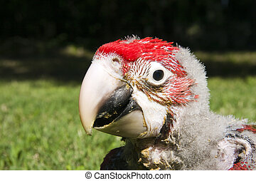 Red-and-green macaw (Ara chloroptera) chick