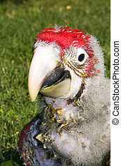 Red-and-green macaw Ara chloroptera chick