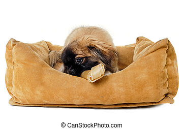 Puppy eating bone in dog bed - Puppy dog is eating bone in...