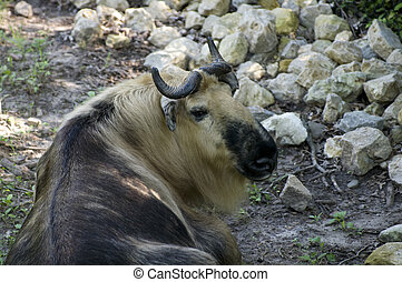 Takin Repose - Takin or Budorcas taxicolor animal lying on...