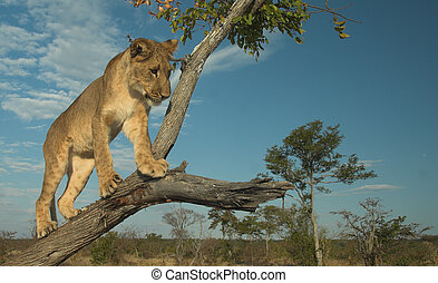 Africa Lion Panthera leo - Young lion Panthera leo playing...