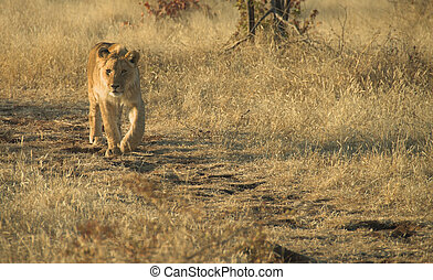 Africa Lion Panthera leo - Young lion Panthera leo walking...