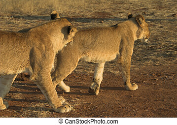 Africa Lion Panthera leo - Two young lions Panthera leo...