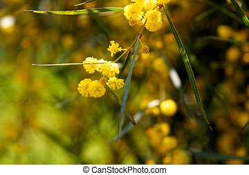 mimosa tree with yellow flowers