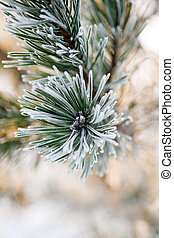 pine needles with frost - Close up of pine needles with rime...