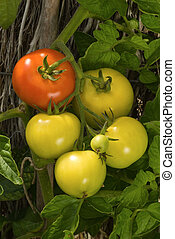 Red and green tomatoes hanging from plant