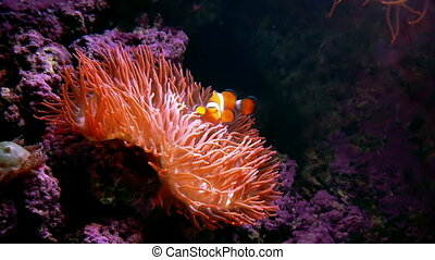 Clown Fish Anemone - A clown fish swims close to a anemone.