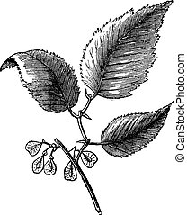 Slippery elm or Ulmus fulva, isolated on white, vintage...