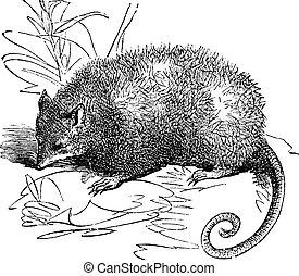Opossum or Didelphis Virginiana, vintage engraving - Opossum...
