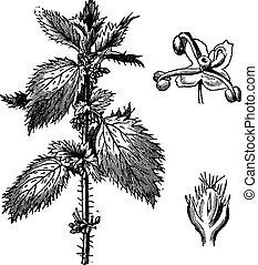 stinging, urtiga, ou, Urtica, urens, staminate, flores,...