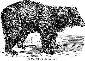 American Black bear (Ursus americanus), vintage engraving -...