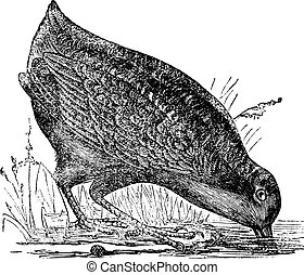 Philohela minor or American Woodcock, vintage engraving -...