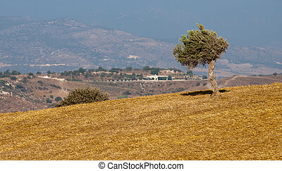 Olive tree on a wheat field