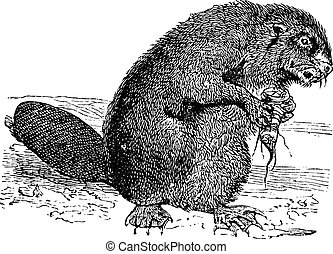 Beaver or rodent vintage engraving Old engraved illustration...