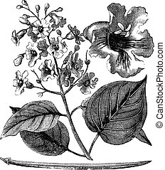 Catalpa bignonioides or cigar tree vintage engraving. Old...