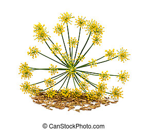 Wild fennel - Flowers and seeds of wild fennel