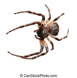 Garden spider, (Araneidae) - Garden spider on the black...