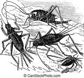 1.Wood cricket (Acheta vittata) 2.Field cricket (Acheta campestris) 3.Domestic cricket (Acheta domestica) 4.Bought maculata vintage engraving