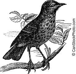 Thrush itself (Turdus musicus) or Redwing vintage engraving