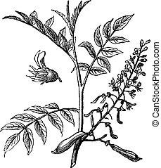 Peru Balsam or Myroxylon peruiferum, vintage engraved...