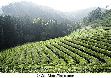 Rows of Green Tea - A green tea field sectioned into...