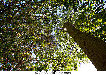 Woodland Canopy - Woodland canopy in summer