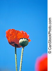 Poppy-seed - Blossoming poppy and mature poppyhead over blue...