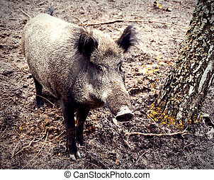 wild boar - a wild boar in-field standing near a birch
