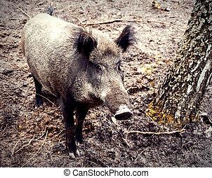 wild boar - a  wild boar in-field standing near a birch