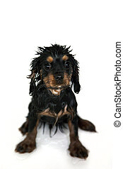 Puppy bathtime - Marmaduke the black and tan Cavalier King...