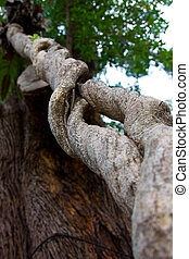 Ye Olde Twist - A parasitic root twisting up a tropical...
