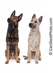 two Belgian shepherd dogs in front of a white background