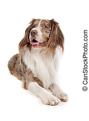 mixed breed dog Australian shepherd, English springer...