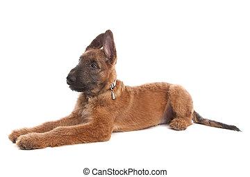 Belgian Shepherd Dog ,Laekenois