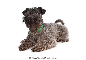 Kerry Blue Terrier in front of a white background