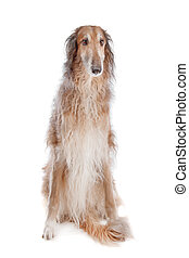 Borzoi or Russian Wolfhound, in front of a white background