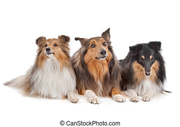 Shetland Sheepdogs - three Shetland Sheepdogs in front of a...