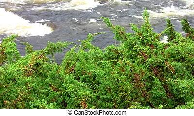 juniper over the river