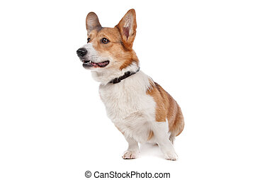 Pembroke Welsh Corgi in front of a white background