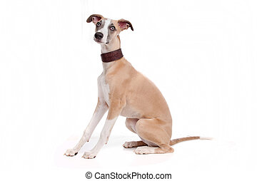 Whippet puppy dog in front of a white background