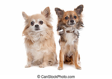 Long haired chihuahua dog in front of a white background