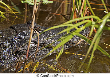 Alligator in a Florida marsh - Partial view of an alligator...