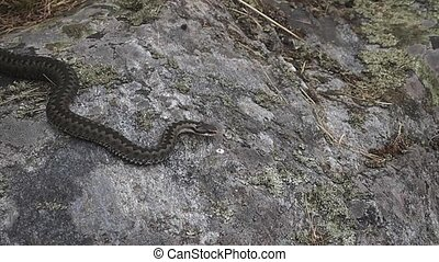 European Adder  - an european adder on a rock