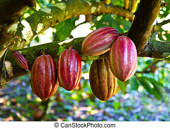 fresh cocoa - Ripe fresh red cocoa ready for picking and...