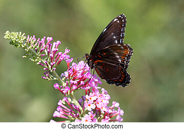 Red-spotted Purple Butterfly-Limenitis arthemis on butterfly...