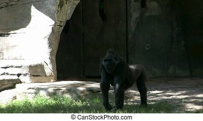 Gorilla at Zoo in Fort Worth, Texas